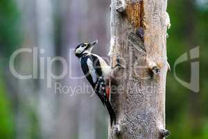 Great Spotted Woodpecker in a spring forest
