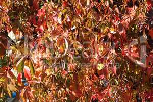 Beautiful autumn leaves of wild grapes