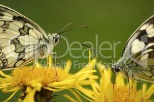 Butterflies Marbled White (Melanargia galathea) on the flower