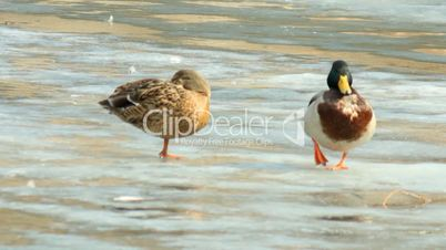 Couple of ducks on the verge of spring