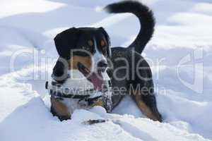 Dog Plays on Fresh Snow
