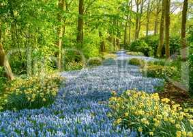 Grape hyacinth in the Keukenhof park, Holland