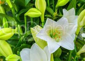 Beautiful big white lily flower close-up