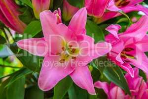 Beautiful big pink lily flower close-up