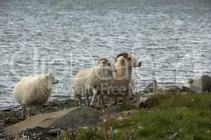 Icelandic sheeps on the meadow in windy weather.