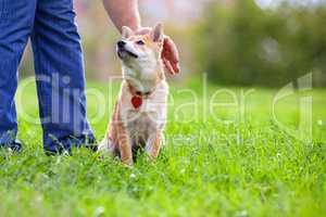 Shiba Inu in the park.
