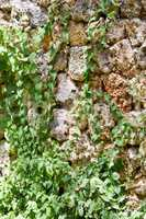 Ivy colonizing an old brown stone