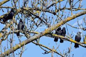 Fünf Krähen auf einem Baum