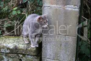 Portrait of a beautiful purebred housecat