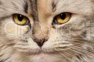 Cat three-color close-up