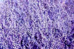 abstract luish-lilac texture from plants