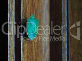 green shield bug insect animal