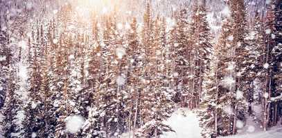 Snow covered pine trees on alp mountain slope