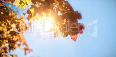 Low angle view of maple leaves
