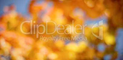 Defocused image of maple leaves