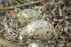 Colorful gull eggs in a nest, close-up