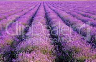 lavender plantation at sunset.