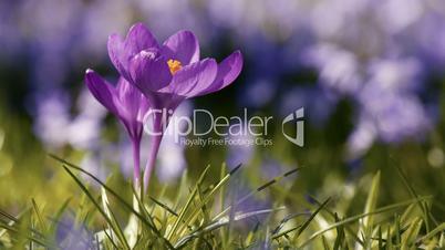 Spring Beautiful Blue Crocus Flower