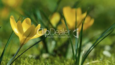 Spring Beautiful Yellow Crocus