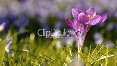 Spring Beautiful Purple Crocus