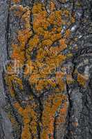 Fragment of tree bark poplar with orange moss