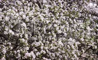 The branches of Apple trees, profusely covered with white flower