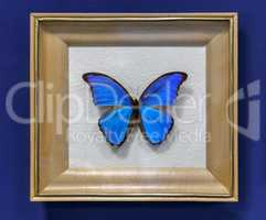 Large tropical butterfly, the Morpho didius.