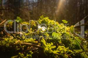 ivy and moss covering forest floor
