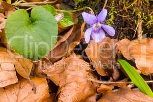 Violet pansy flowers in beech leaves first signs of Sprintime
