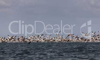 Migration of pink pelicans