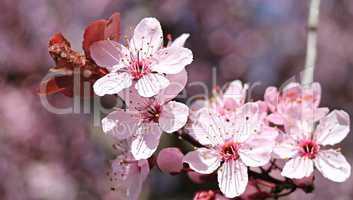 Zweig mit rosa Mandelblüten