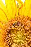 Honey bee on sunflower.