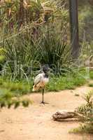 African sacred ibis called Threskiornis aethiopicus