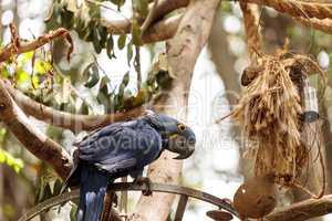 Hyacinth Macaw parrot Anodorhynchus hyacinthinus