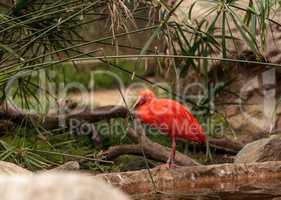 Scarlet ibis called Eudocimus ruber