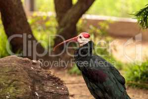 Southern bald ibis called Geronticus calvus