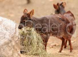 Southern pudu scientifically named Pudu pudu