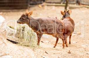 Southern pudu scientifically named Pudu pudu
