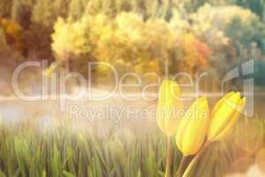 Composite image of yellow tulips