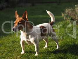 Jack Russell Terrier in a garden