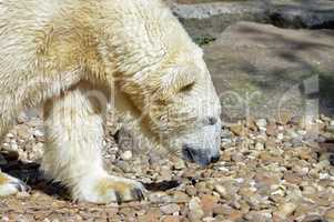 Polar bear on pebbles in an animal