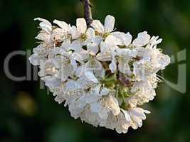 Zweig eines Kirschbaumes mit Blüten