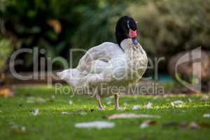 Black necked swan (Cygnus melanocoryphus)
