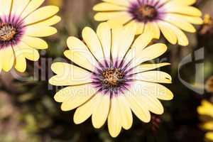 Yellow petals on a blue-eyed beauty daisy
