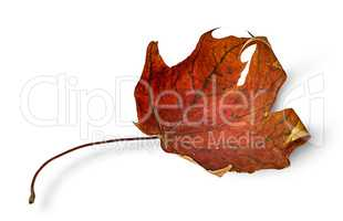 Dry maple leaf with curled edges horizontally