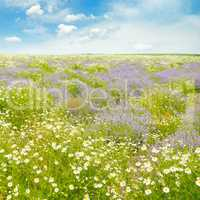 Field with daisies and blue sky, focus on foreground