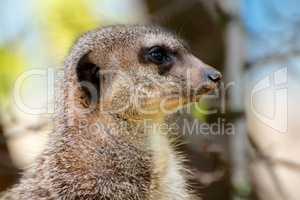 Alert meerkat watching for danger