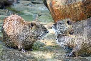 Nutria, semiaquatic rodent