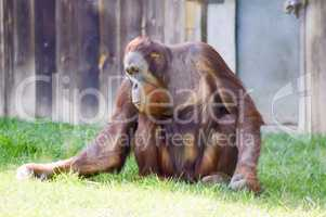 Monkey Orang-Outang walking in a green