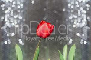 One red tulip on